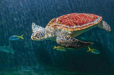 sea-turtles-aquarium-are-swimming.jpg