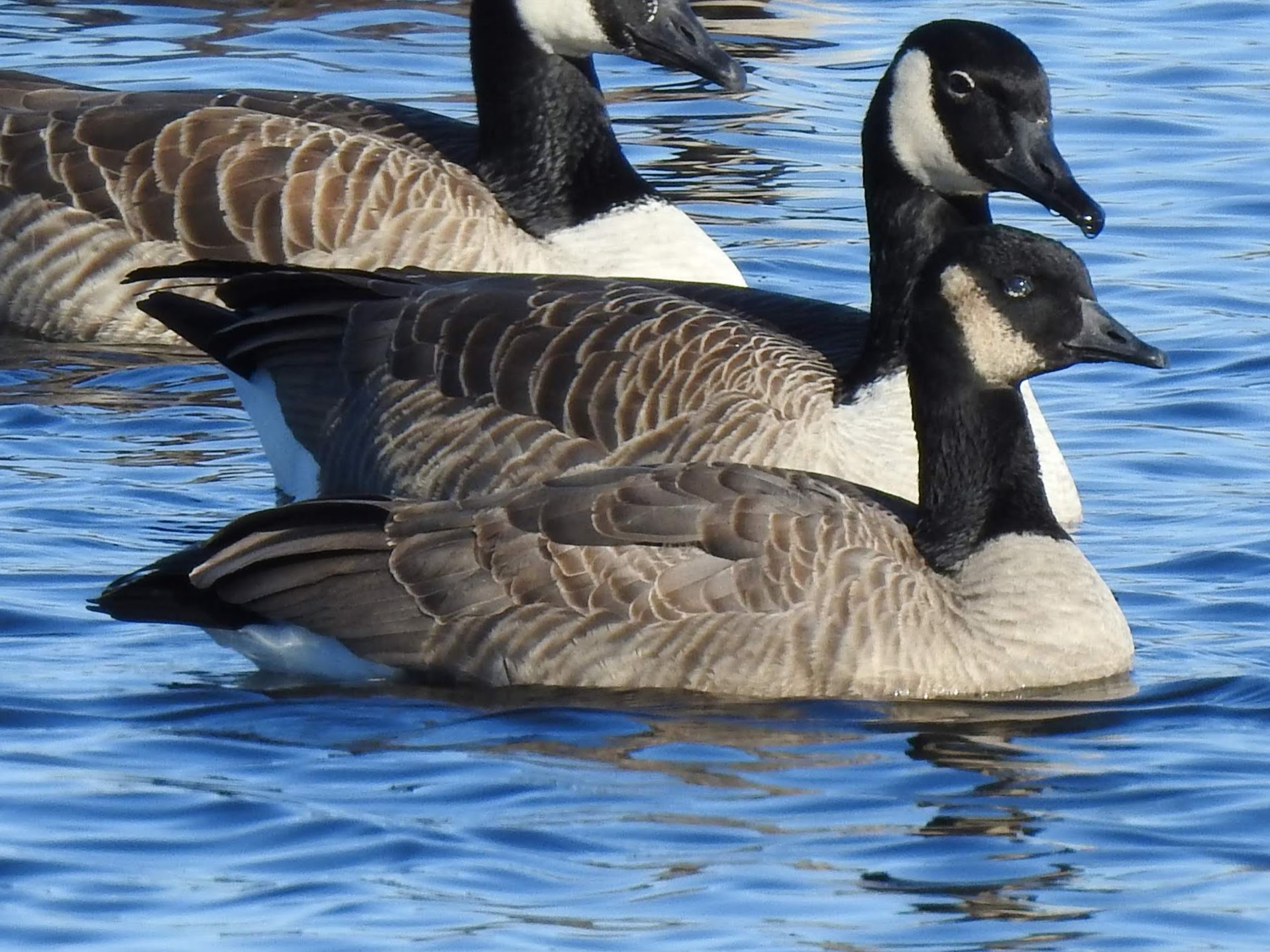 Canada Goose and Cackling Goose