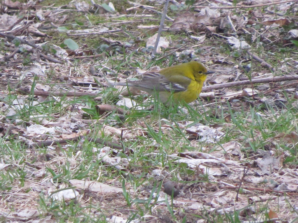 Pine Warbler on the ground