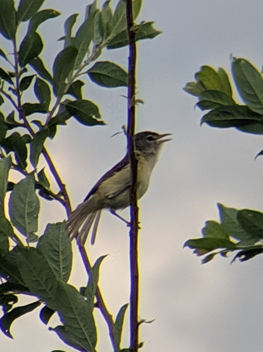 Bell's Vireo singing on a vertical branch