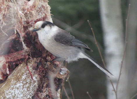 Canada Jay at the Welcome Center.jpg