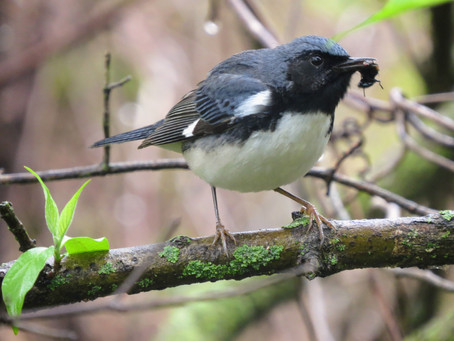 Breaking the record with a Black-throated Blue Warbler