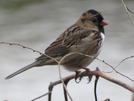 Hankering for a Harris's Sparrow