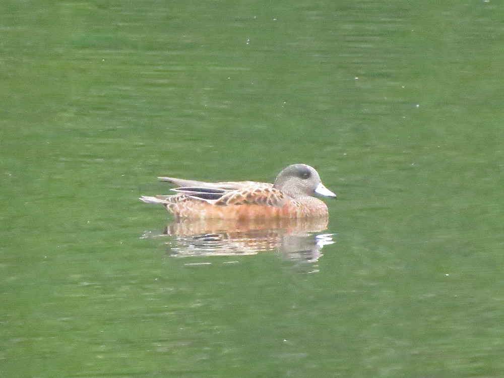 American Wigeon on green-tinted waters