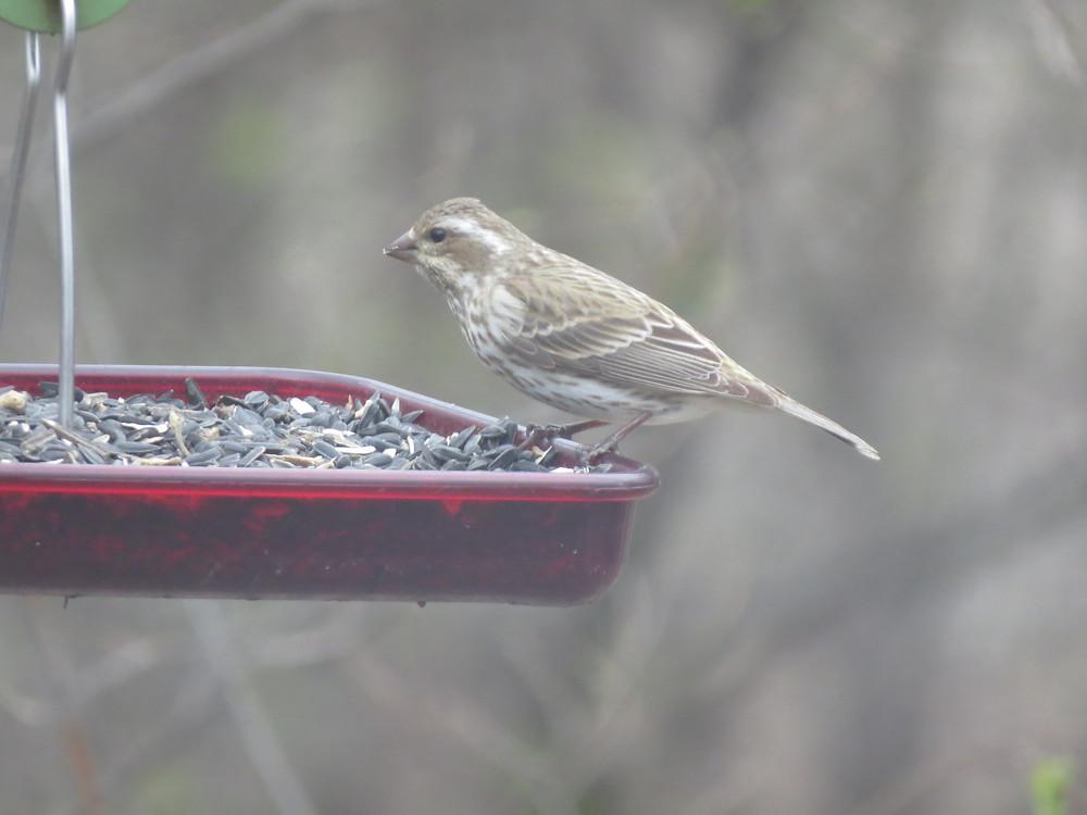 Female Purple Finch on a platform feeder