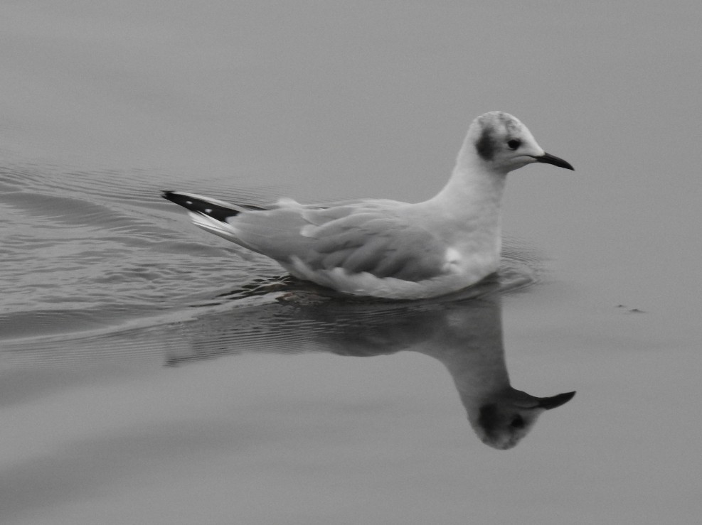 Bonaparte's Gull swimming on the water with its reflection in the water