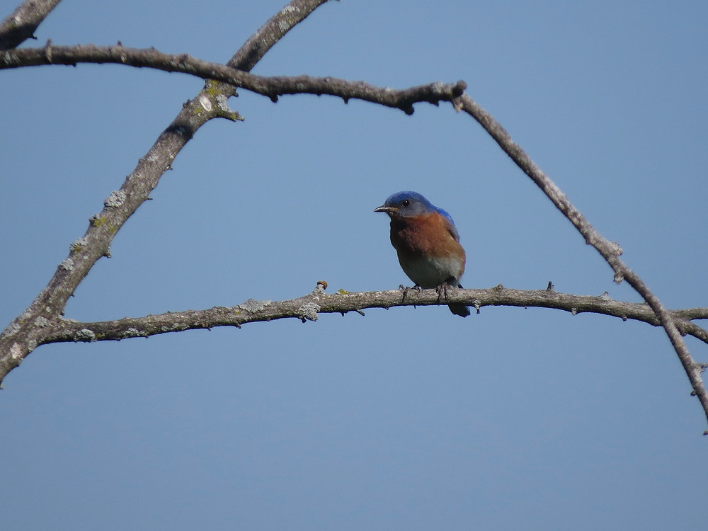 Eastern Bluebird perched on a branch