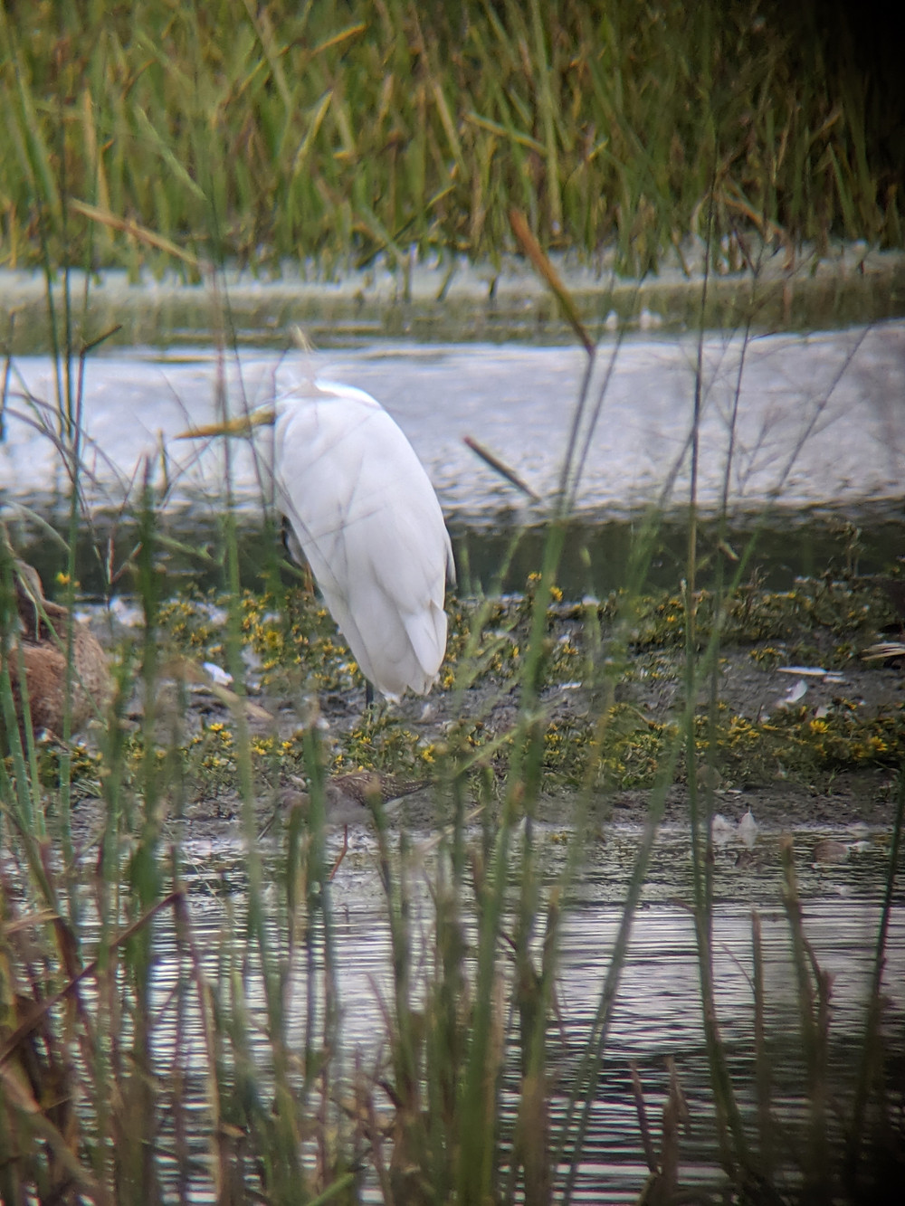 View of a Great Egret with a very obscured Lesser Yellowlegs in the foreground