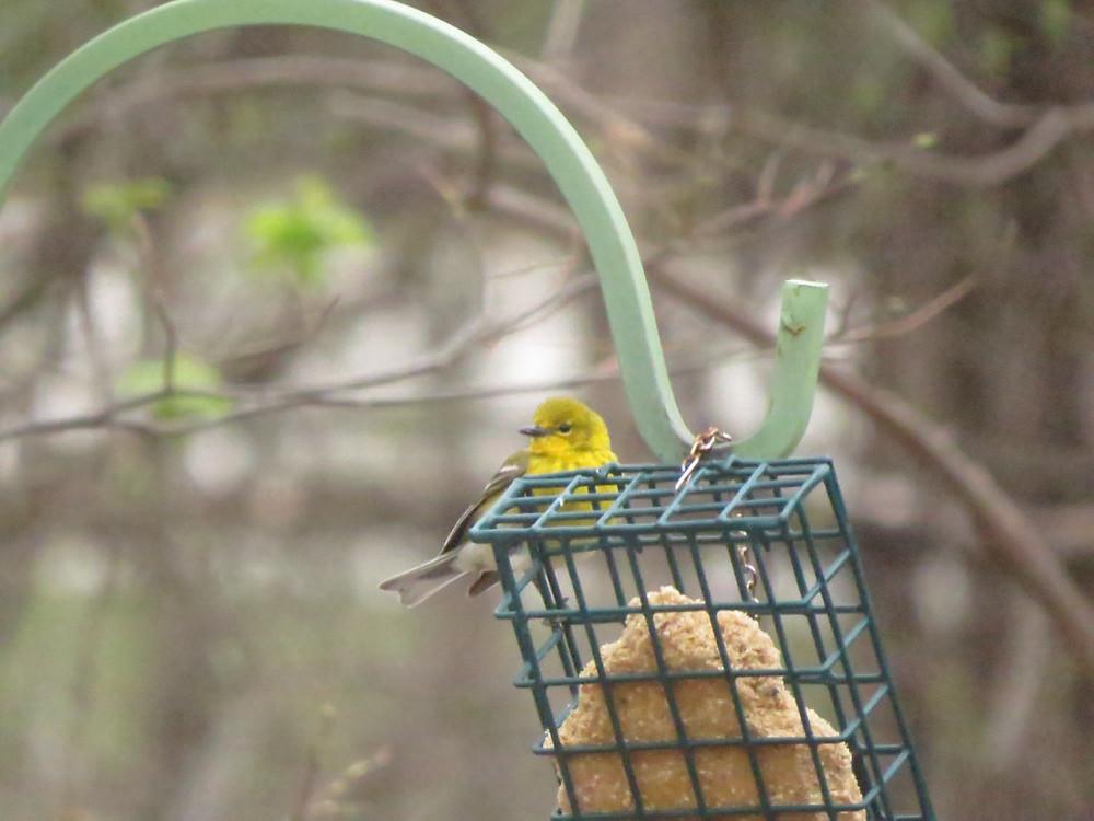 Pine Warbler on a suet feeder