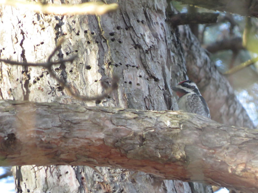 Sap wells and Yellow-bellied Sapsucker