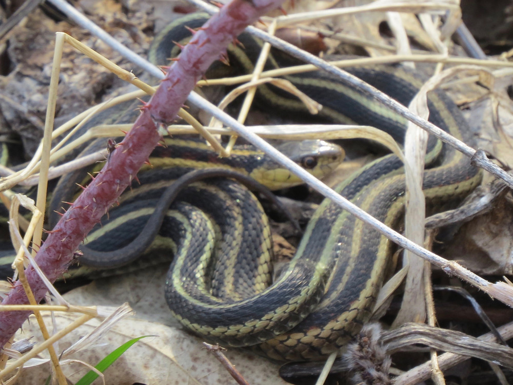 Two Garter Snakes wrapped around each other