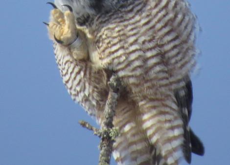Northern Hawk Owl (showing leg band).