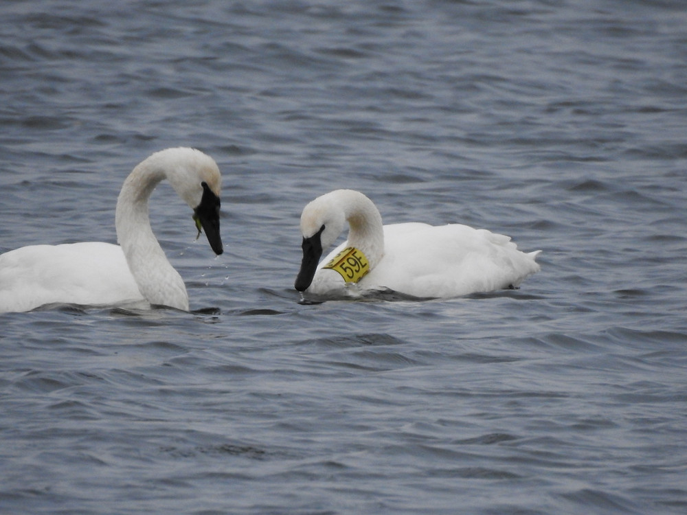 "Two Trumpeter Swans, one with a yellow neck band reading ""59E"""