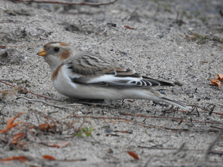 Sneaking in a Snow Bunting before the snowstorm