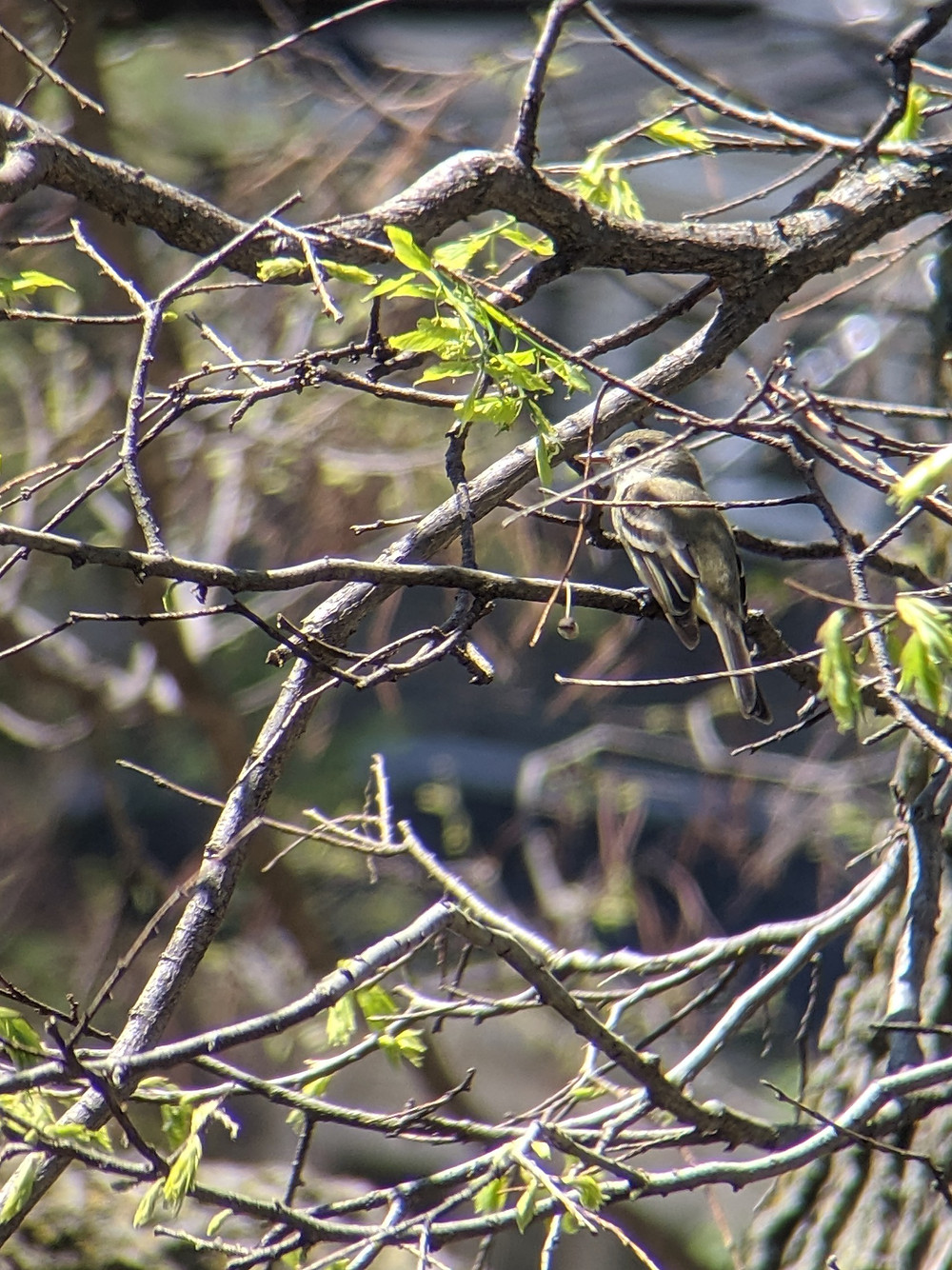 Willow Flycatcher perched on a tree in our backyard
