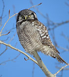 Northern Hawk Owl in Sax-Zim.jpg