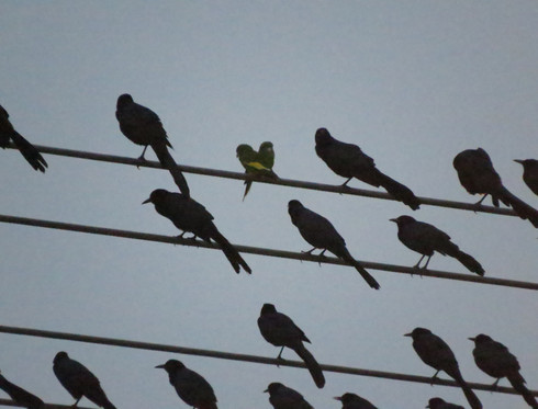 White-winged Parakeets (amongst the Great-tailed Grackles)