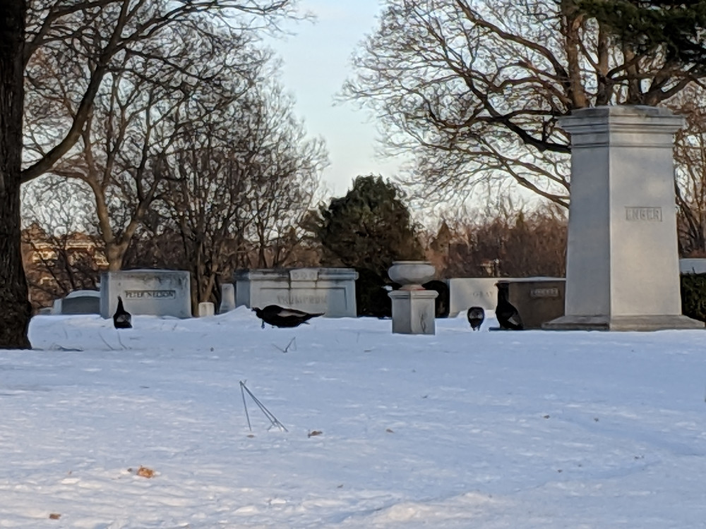Wild Turkeys amongst the headstones in Lakewood Cemetery
