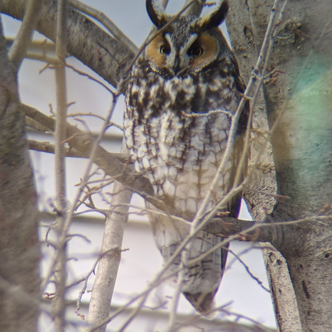Long-eared Owl in a relatively relaxed posture