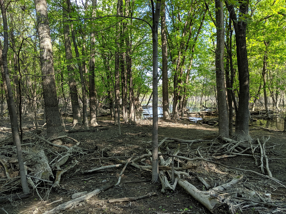 Scene along the river bottoms of the Minnesota River showing how high the water used to be based on the driftwood stranded in this location.