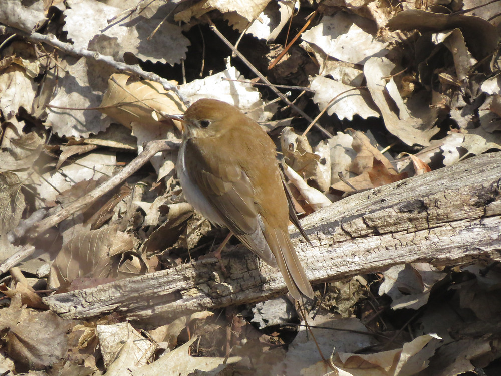 Veery on a log in Roberts Bird Sanctuary