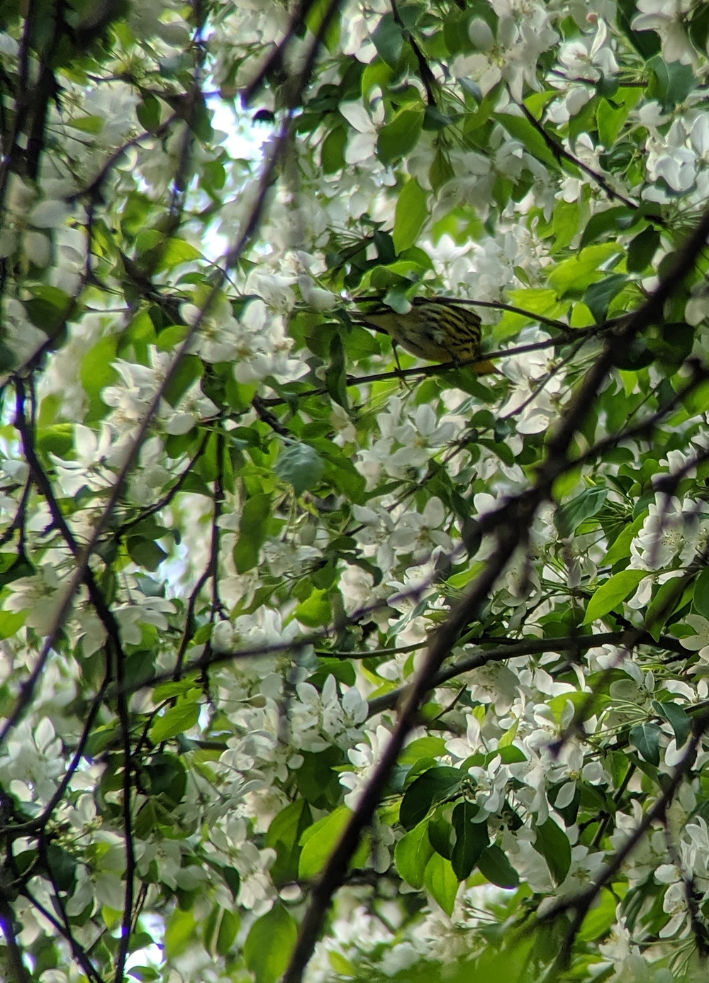 Cape May Warbler from below in a tree with many flowers