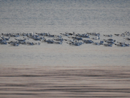Looking for a Lesser Black-backed Gull and a lovely Long-tailed Duck
