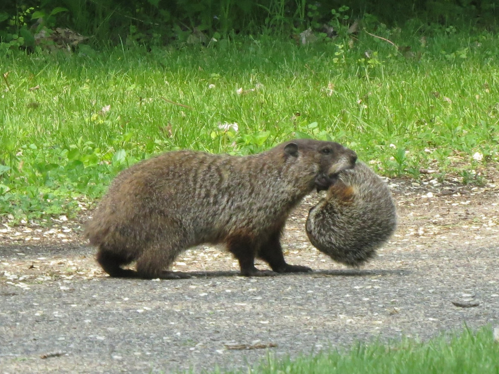 Woodchuck carrying her baby by the tail
