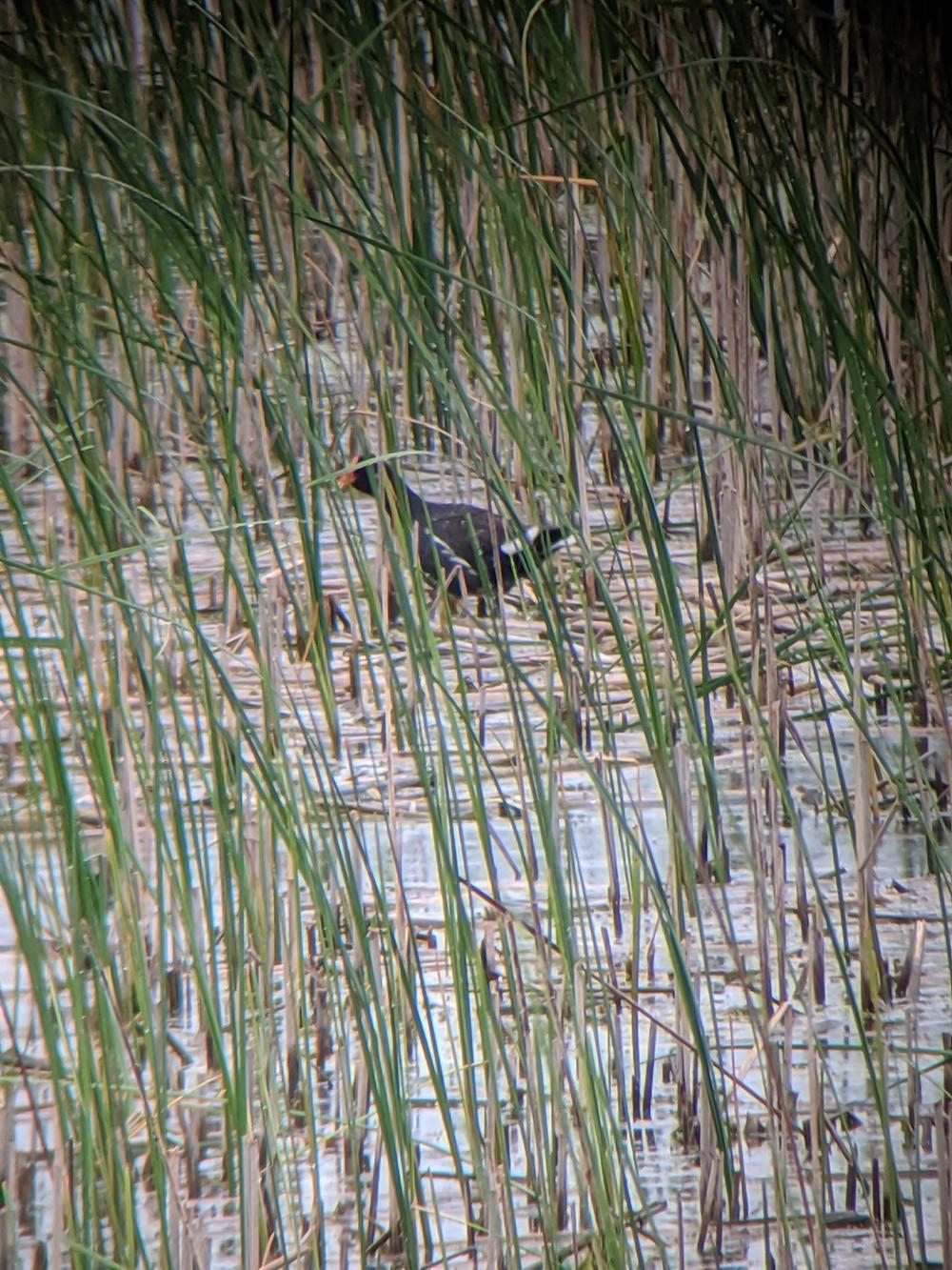 Common Gallinule amongst the marsh grasses