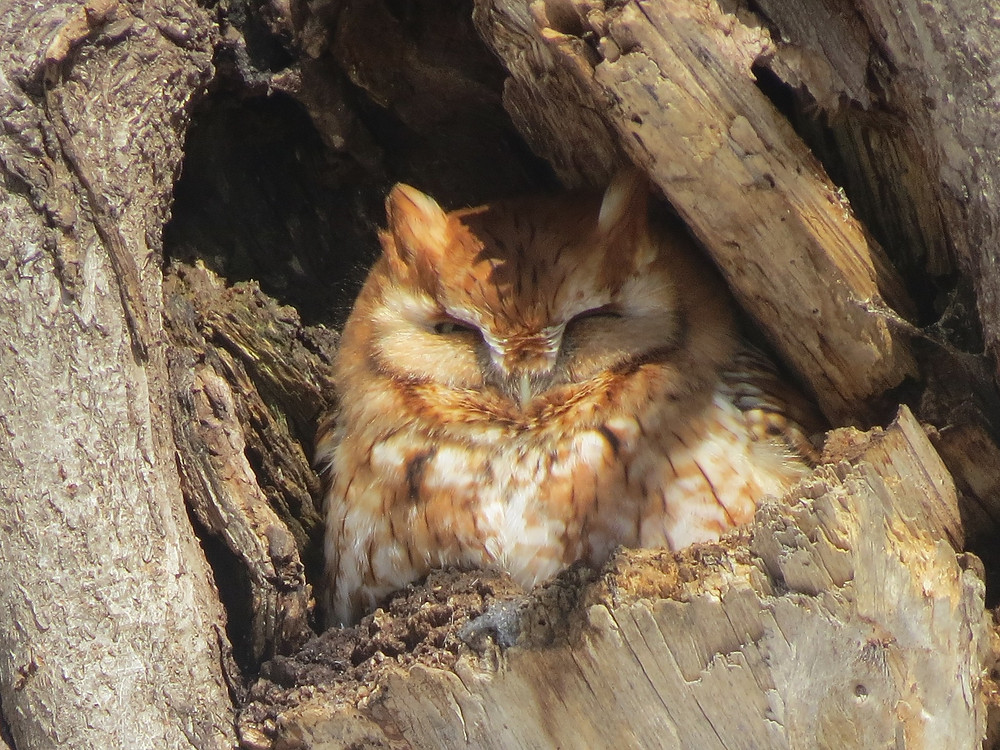 Red morph Eastern Screech-Owl sitting in the sun