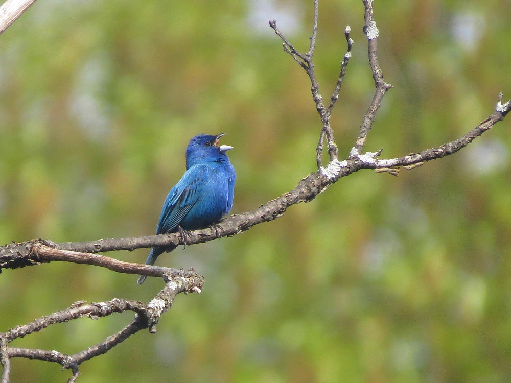 Indigo Bunting singing on an exposed perch
