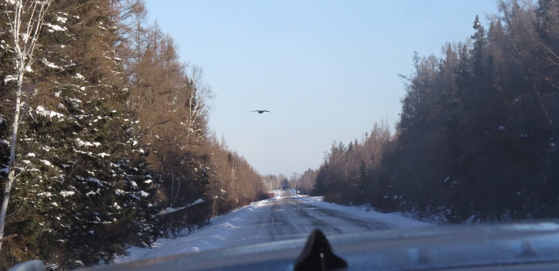 Great Gray Owl flying over the road