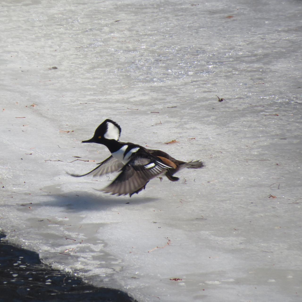 Hooded Merganser male flying low over ice