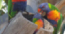 Rainbow Lorikeet family.jpg