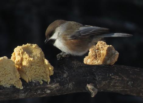 Boreal Chickadee and peanut butter