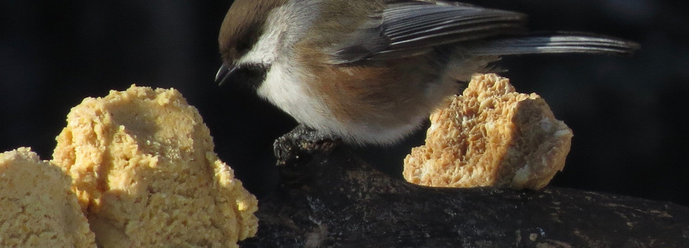 Boreal Chickadee and peanut butter