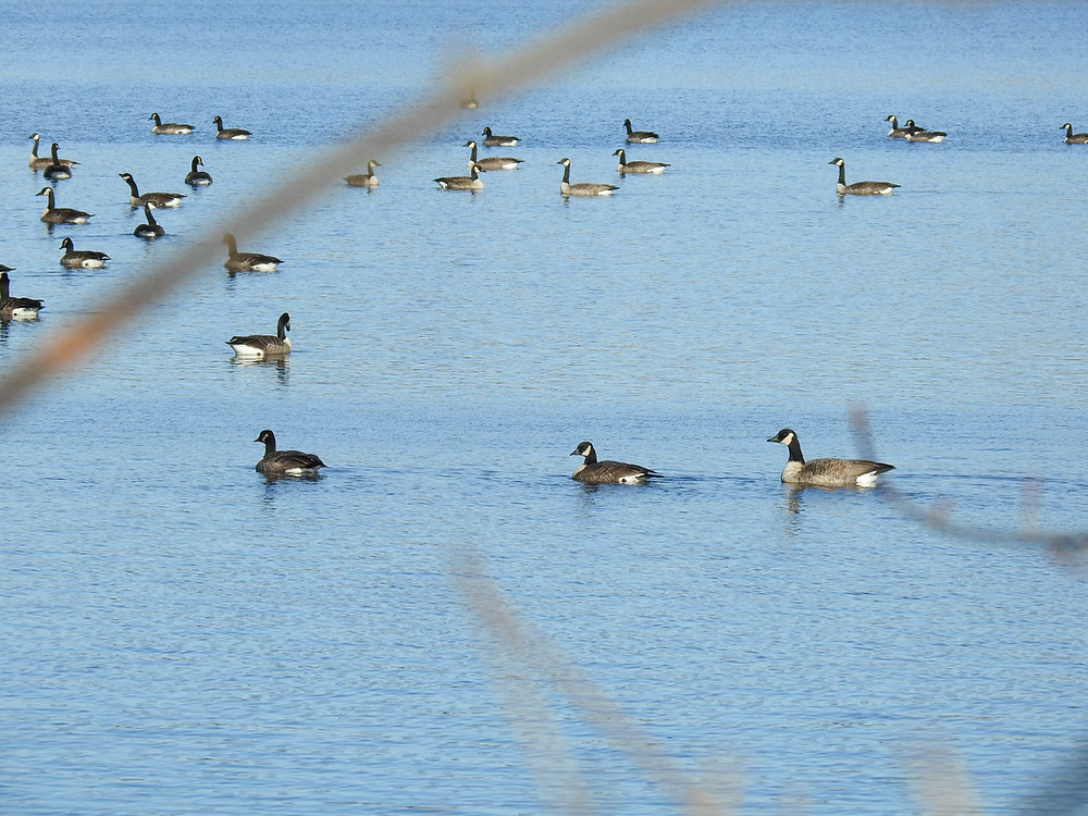 View of a number of geese on the water at Lake Hiawatha