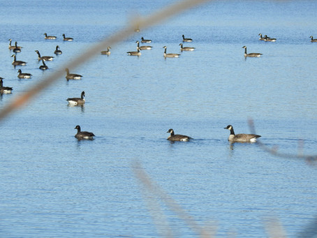 Cataloging a Cackling Goose