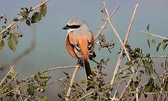 Long-tailed Shrike by Judith Benka