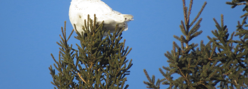 Snowy Owl at the top of a tree