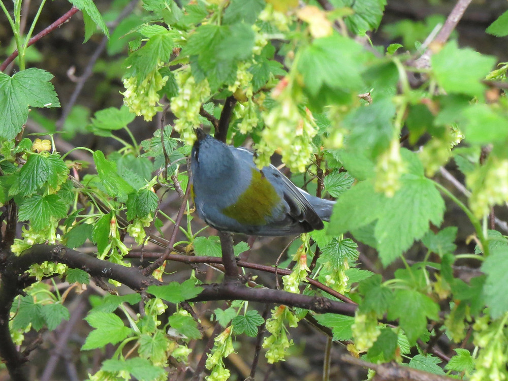 Northern Parula showing off its green back
