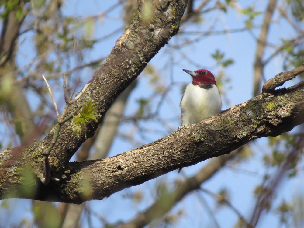 Red-headed Woodpecker in a tree