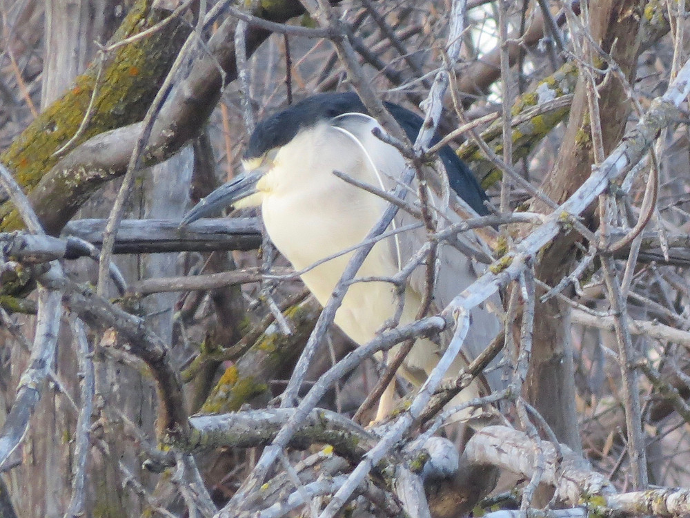 Black-crowned Night-heron with its eyes closed.