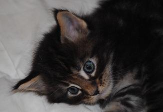 Meîko mâle brown blotched tabby