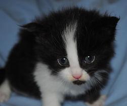 Mikado, mâle noir et blanc