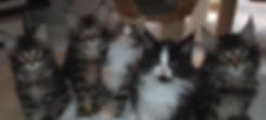 les chatons de Lapis lazuli