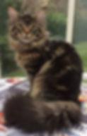 Meîko, Des rêves d'Azuli, mâle brown blotched tabby