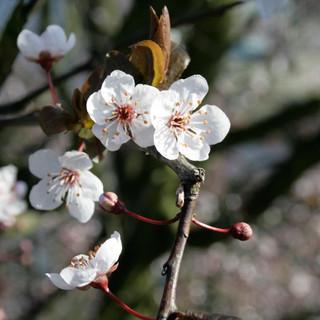 Kirschblüte-Web.jpg
