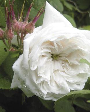 Rose5-Web.jpg