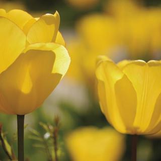Tulpen-Web.jpg